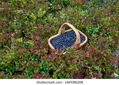 A whole basket of bilberries (Vaccinium myrtillus). Season: Summer. Location: Western Siberian taiga.