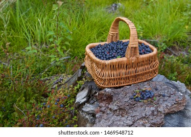 A whole basket of fresh bilberries (vaccinium myrtillus). Season: Summer. Location: Western Siberian taiga.