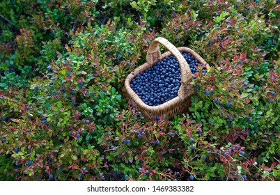A whole basket of freshly picked bilberries (Vaccinium myrtillus). Season: Summer. Location: Western Siberian taiga.