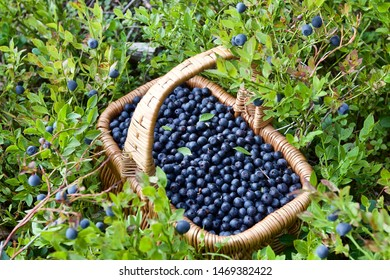 A whole basket of ripe bilberries (Vaccinium myrtillus). Season: Summer. Location: Western Siberian taiga.