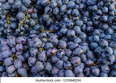 A whole box filled with ripe, organic blue grapes.