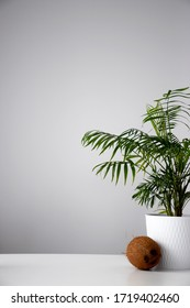 Whole coconut near house plant palm tree in a white pot on a white table at day time