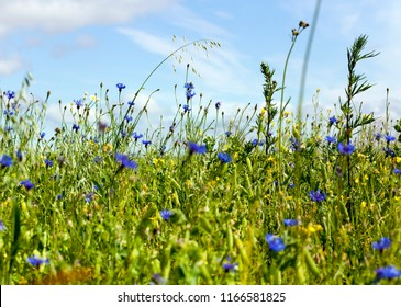 a whole field of green peas with pods that have appeared, summer time, many blue cornflowers grow on the field