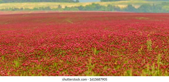 whole field of red clover, ulice - Shutterstock ID 1613687905