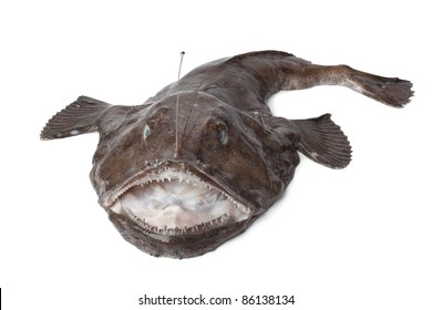 Whole fresh Monkfish on white background