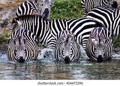 Whole Lotta Stripes Zebras create an abstract of stripes as they drink from a water hole in Tarangire National Park in Tanzania.