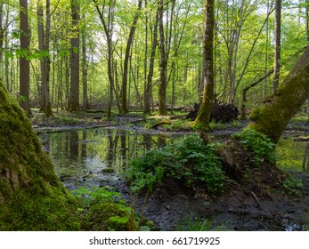 Whole moss wrapped hornbeams with some sorrel in springtime,Bialowieza Forest,Poland,Europe