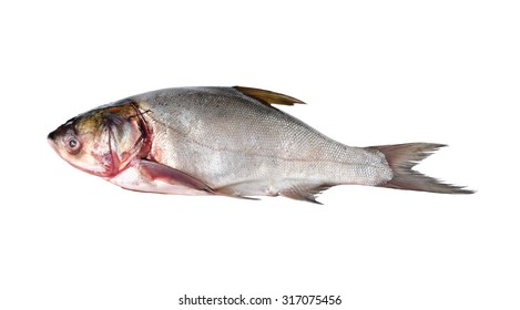 whole round sliver carp fish on white background