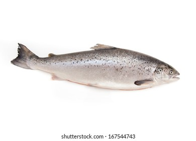 Whole Scottish Atlantic Salmon Salmo salar (3.1kg). Isolated on a white studio background.