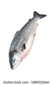 Whole Scottish salmon fish (1kg) isolated on a white studio background