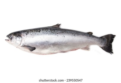 Whole Scottish salmon fish (3.6kg ) isolated on a white studio background.