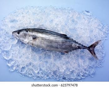 WHOLE SKIPJACK TUNA FISH ON ICE,BLUE TABLETOP