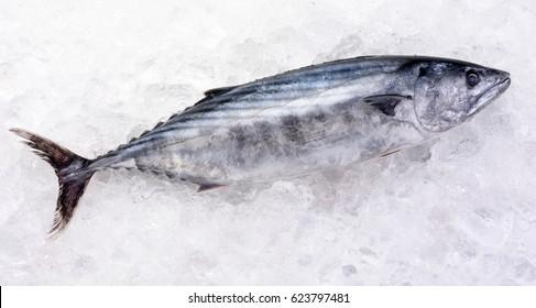 WHOLE SKIPJACK TUNA FISH ON ICE