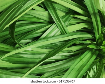 The wholesale Screwpine or pandan leaf  Wallpaper Background