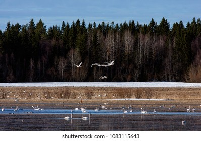 Whooper swan in and above a lake. Flocks of migrating birds moves around the lake, water hole. Forest in the background.