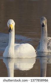 Whooper Swan (Cygnus Cygnus) adult and cygnet swimming together in Lake Kussharo, Hokkaido Island, Japapn.