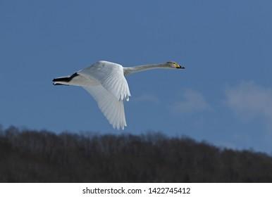 Whooper Swan (Cygnus cygnus) adult in flightAkan, Hokkaido; Japan     March