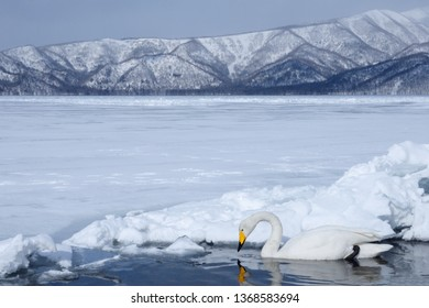 Whooper Swan (Cygnus Cygnus) Adult swimming in a gap in the ice of frozen Lake Kussharo, with snowy mountains in the background, Hokkaido Island, Japan.
