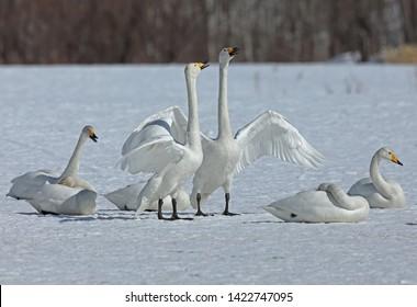 Whooper Swan (Cygnus cygnus) adults displayingAkan, Hokkaido; Japan     March
