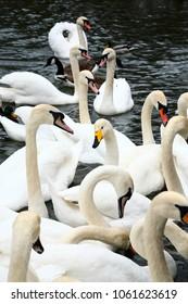 Whooper swan cygnus cygnus amongst a group of mute swans cygnus olor on waterloo lake at roundhay park
