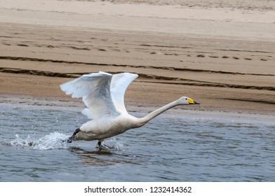 Whooper Swan (Cygnus cygnus) in Barents Sea coastal area, Timan tundra, Nenets Autonomous Okrug, Arkhangelsk Region, Russia