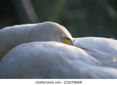 Whooper Swan (Cygnus cygnus). The Camargue, Provence, southern France.