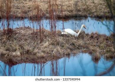 Whooper swan (Cygnus cygnus) came to the nest and examines the clutch on the island of forest lake in the boreal forests of Lapland