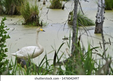 The whooper swan (Cygnus cygnus), also as the common swan, pronounced hooper swan, is a large Northern Hemisphere swan, Bialowieza National Park, Poland.
