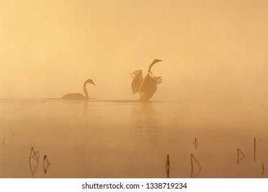 Whooper swan (Cygnus cygnus) couple swimming in the early morning mist.