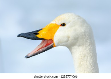Whooper Swan, Cygnus cygnus, detail open bill portrait of bird with black and yellow beak, Hokkaido, Japan. Funny image from the nature. Bird on the ice with snow.