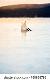 Whooper Swan (Cygnus cygnus) dives into the water (Lake Kussharo). The unique natural beauty of Hokkaido, Japan.