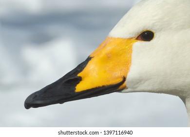 Whooper Swan (Cygnus Cygnus)  head showing beak markings in the snow of Lake Kussharo, Hokkaido Island, Japan.