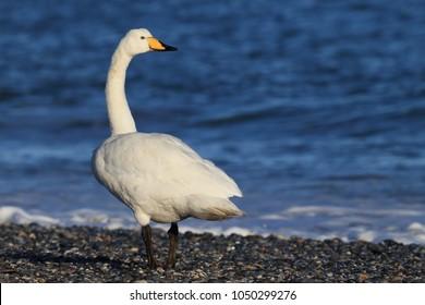 whooper swan (Cygnus cygnus) Helgoland Germany