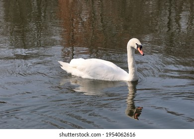 The whooper swan (Cygnus cygnus) also known as the common swan or the mute swan (Cygnus olor). Beautiful white swan in the water