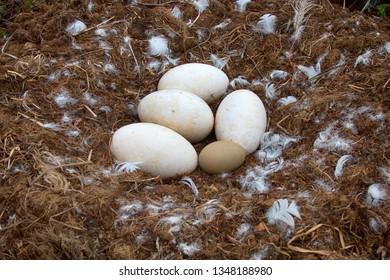 Whooper swan (Cygnus cygnus) moss nest. In a nest laid duck's egg for comparison