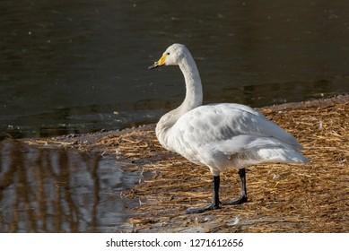 The Whooper swan (Cygnus cygnus) next to the sea.