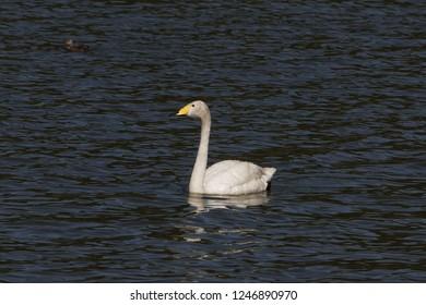 A whooper swan (Cygnus cygnus) on a blue water surface.