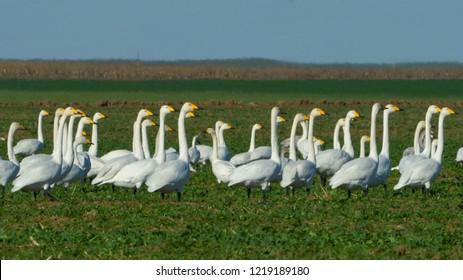 Whooper swan (Cygnus cygnus) on a Field in Winter