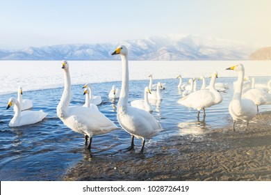 Whooper Swan or Cygnus cygnus on Lake Kussharo in Winter at Akan National Park,Hokkaido,Japan