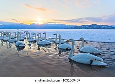 Whooper swan or Cygnus cygnus on the lake Kussharo at sunset in winter season