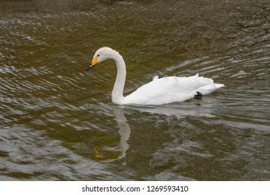 A whooper swan (Cygnus cygnus) on a water surface.