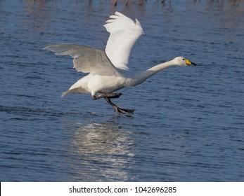 Whooper swan, Cygnus cygnus, single bird landing in water,   Norfolk, February 2018