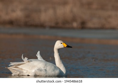 Whooper swan, Cygnus cygnus, Single bird on water.