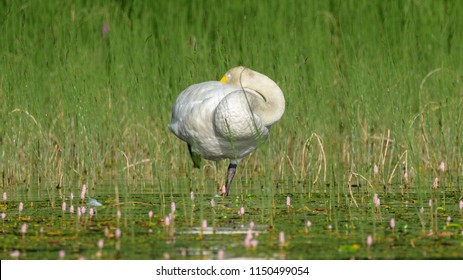 The Whooper swan (Cygnus cygnus) sleeping and standing on one leg in lake in Finland in summer morning.