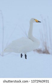 Whooper Swan (Cygnus Cygnus) in the snow at Tsurui, Hokkaido Island, Japan