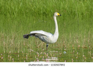 The Whooper swan (Cygnus cygnus) standing on one leg and stretching another leg in lake in Finland in summer morning.