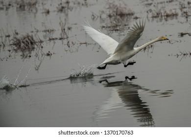 Whooper swan, Cygnus cygnus, starting in winter, Lower Oder Valley National Park, Brandenburg, Germany