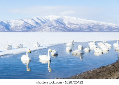 Whooper Swan or Cygnus cygnus swimming on Lake Kussharo in Winter at Akan National Park,Hokkaido,Japan
