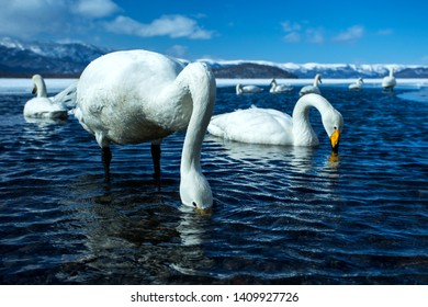 Whooper Swan or Cygnus cygnus swimming on Lake Kussharo in Winter at Akan National Park,Hokkaido,Japan, mountains covered by snow in background,birding adventure in Asia,beautiful elegant royal birds