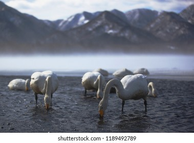Whooper swan in hot spring